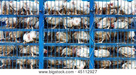 Huhn-Transport