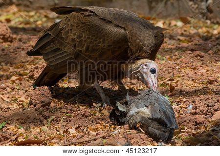 Hooded Vulture Feeding On Plantain Eater