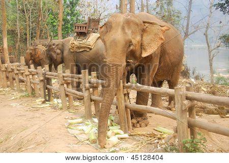 Asian elephants Laos