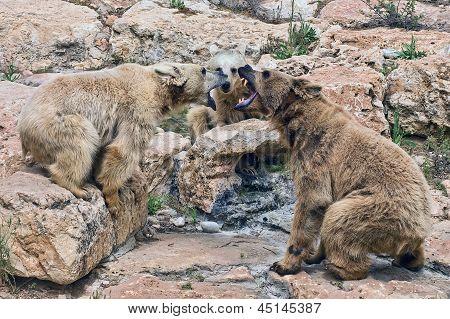 Streit-Bären
