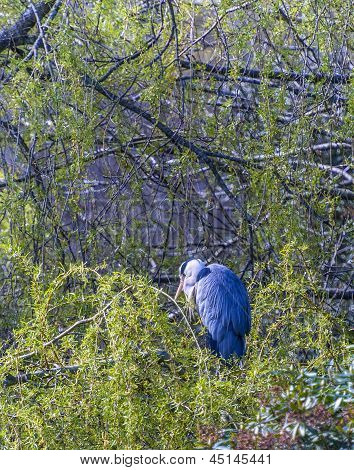 The Grey Heron (ardea Cinerea)