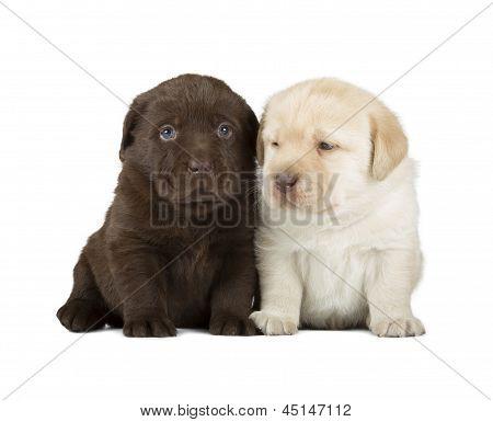 Chocolate & Chocolate Labrador Retriever Puppies