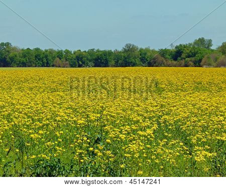 Field of 1000 Sneezes