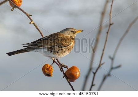Bird Fieldfare (turdus Pilaris)