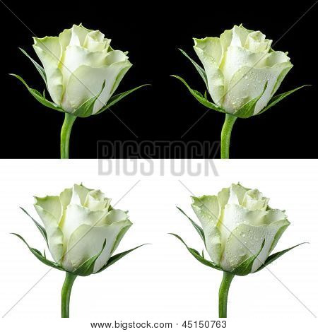 Collage Of A White Rose