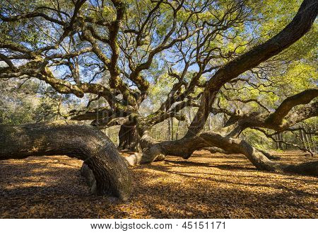 South Carolina Angel Oak Tree Charleston Sc Nature