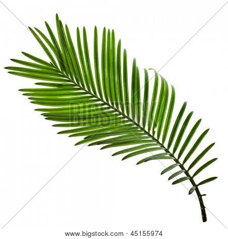 Single Green leaf of palm tree isolate on white background