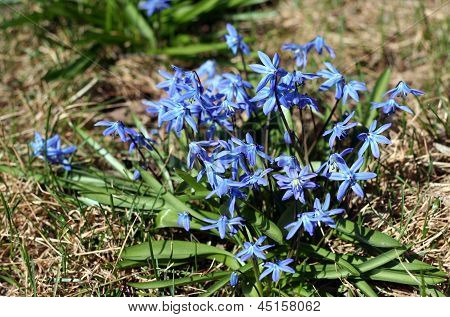 Early Spring Blue Scilla (squill) Blossom Background