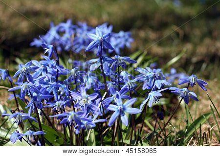 Blue Scilla Snowdrop