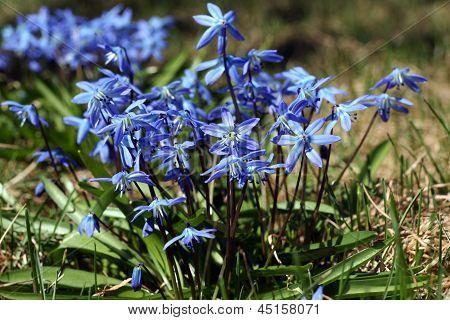 Blue Snowdrop