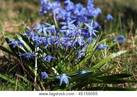 Early Flowers - Blue Scilla