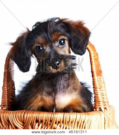 Portrait Of A Puppy In A Basket.
