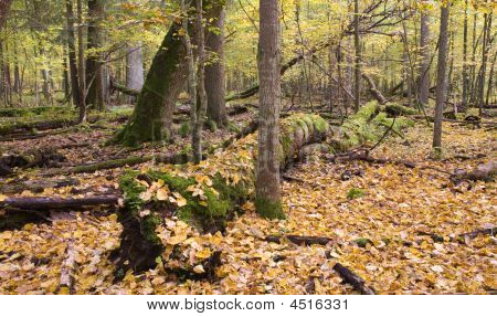 Autumnal Landscape Of Natural Forest With Lying Dead Trees