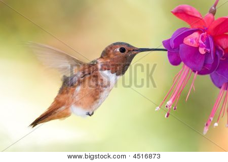 Allen's Hummingbird On Fuchsia
