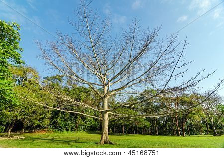 Large Leafless Tree