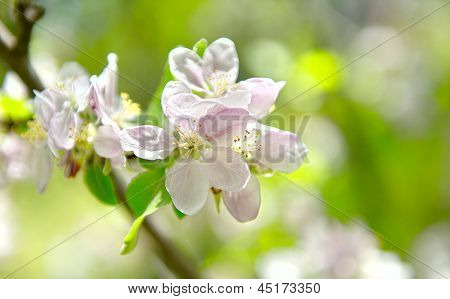 picture of apple flower close-up on a light blue background