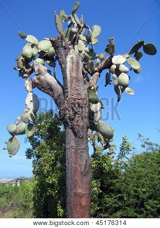 Galapagos: alte endemische Riese Kaktus-Baum (Opuntia Echios var. Gigantea)