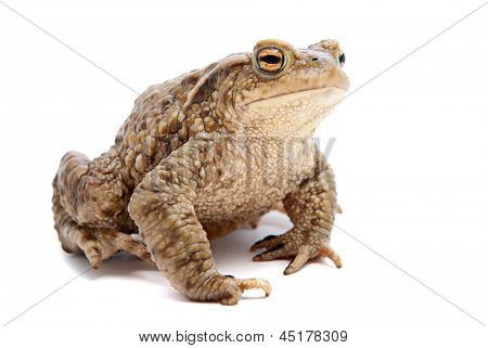 Bufo bufo. Common (European) toad on white background.