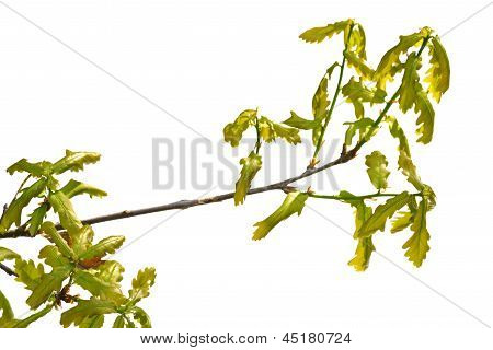 Oak Branch Isolated