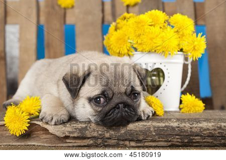 pug puppy and kitten
