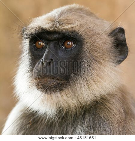 Blace faced monkey, grey langur sitting on a tree in Rishikesh, India