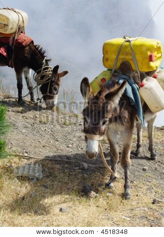 Donkeys Carrying Water In Cape Verde