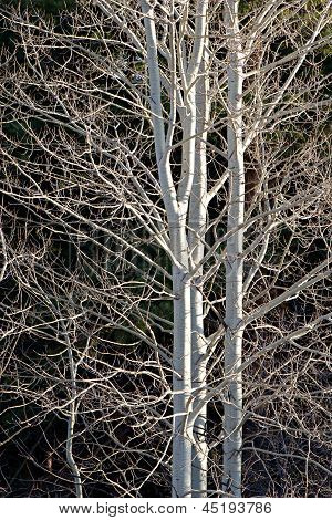 Aspen Trees By Spring