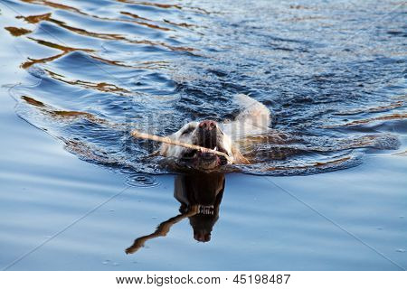 Swimming Labrador Retriever Dog