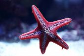 stock photo of echinoderms  - red starfish attached itself to the aquarium glass - JPG