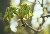 Detail Of Horse Chestnut Tree (aesculus Hippocastanum) Leaves And Buds Opening In Spring.