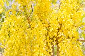 image of cassia  - Fully yellow color of Golden flower or Cassia fistula with blue sky background  It is national flower of Thailand - JPG
