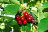 stock photo of bing  - Bing Cherries from James Orchard in the Winston Oregon area - JPG