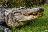 foto of alligator  - Alligator sunning itself on side of swamp - JPG