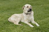 anatolian sheep dog on green grass