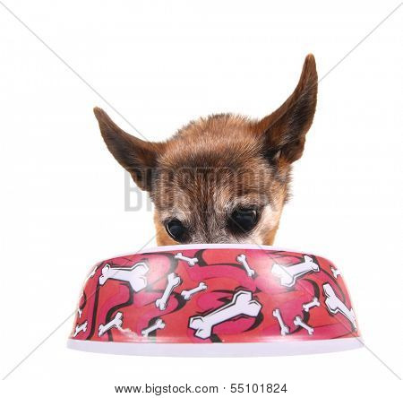 a cute chihuahua eating out of a bowl