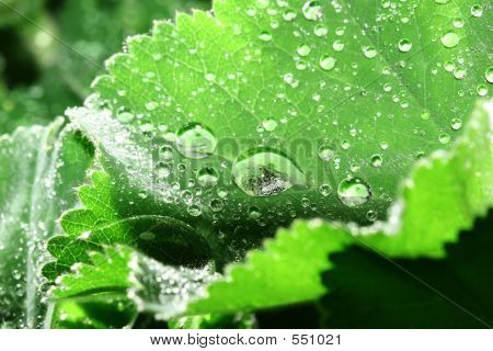 Dewdrops On Leaves Of Lady's Mantle