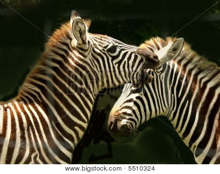 Zebra Conversation