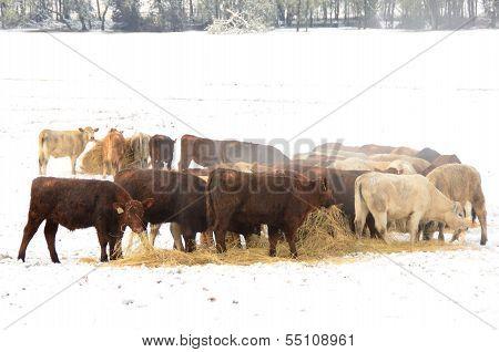 Winter Steers