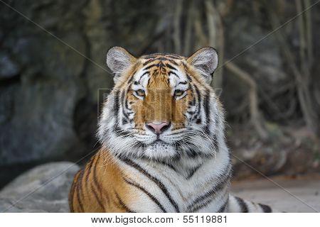 Sumatran Tiger Looking