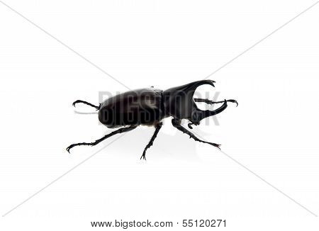 side of scarab beetle