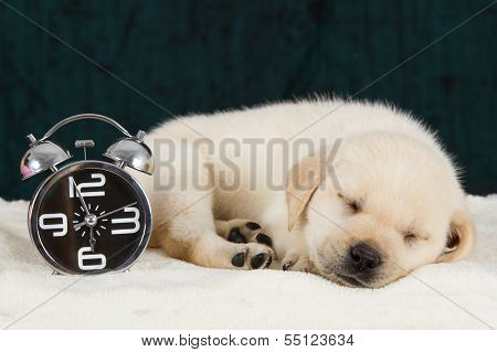 Labrador Puppy Sleeping On Blanket With Alarm Clock