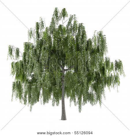 Tree isolated. Salix alba