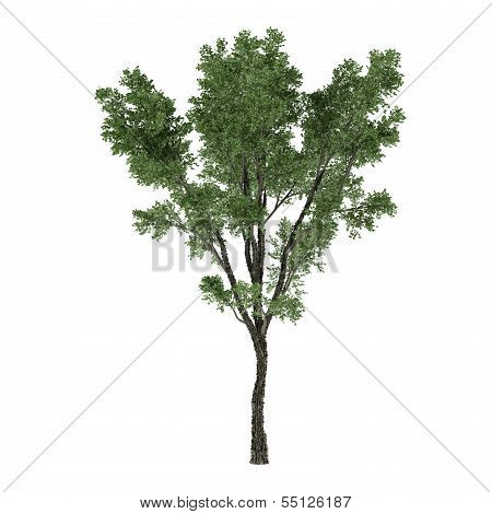 Tree  Lime Tilia cordata