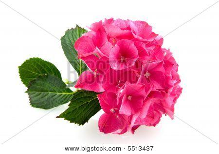 Pink Hydrangea Hortensia