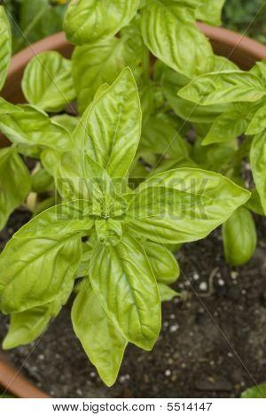 Basil Plant