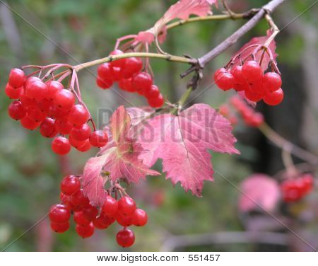 Branch Of A Viburnum