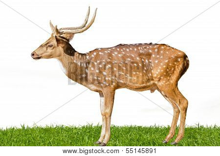 Cute Spotted Fallow Deer Isolated On White