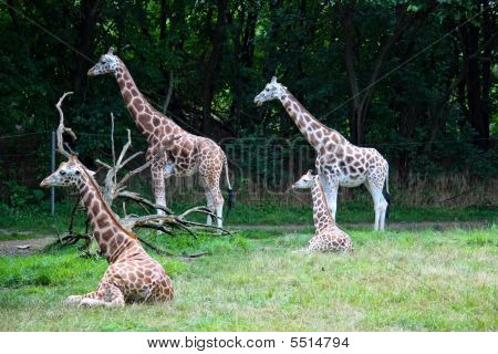 Group Of Attentive Girafe