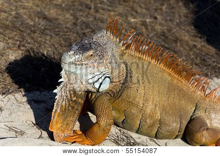 A portrait, Orange Iguana on the Sand