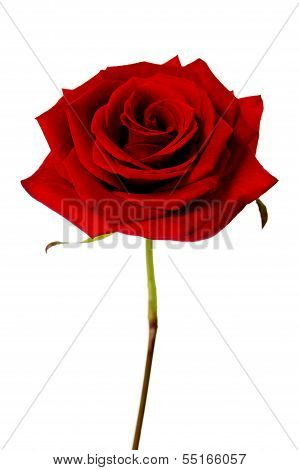 Single Red Rose Isolated On A White Background
